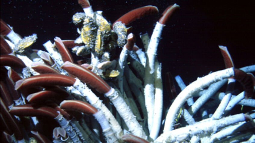 Giant tubeworms at a hydrothermal vent